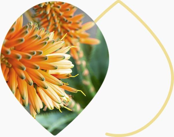 Aloe Arborescent naturelle