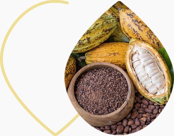 Cacao : fruits, fèves et poudre