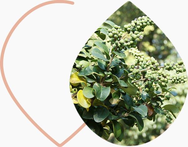 Plante originaire de la résine de guggul