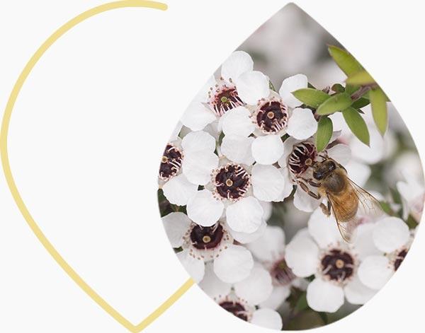 Plante originaire du miel de manuka