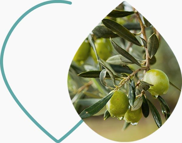Branche d'olivier avec des olives vertes