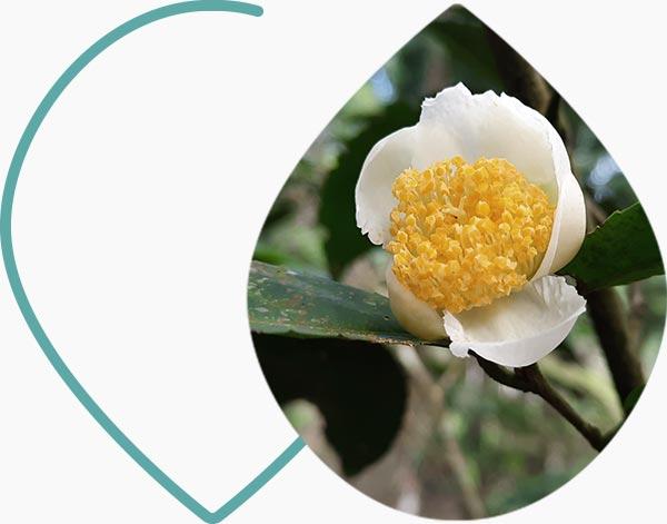 Fleur théanine
