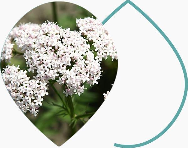 Fleur Valériane