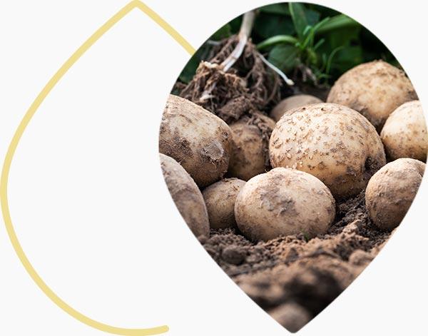 Patates fraiches