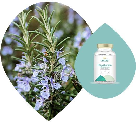 Romarin, utilisé dans la composition du complément hepatocare